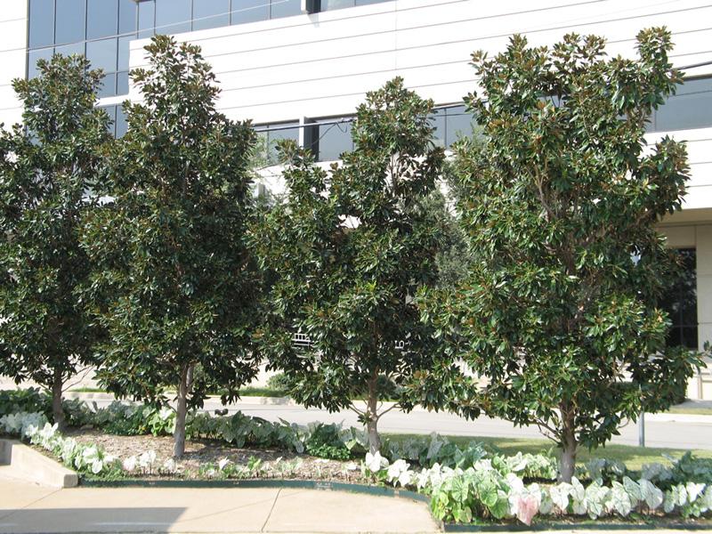Little Gem Magnolia Details Texas Smartscape Plant Database