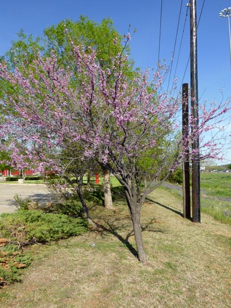 Eastern Redbud Details Texas Smartscape Plant Database