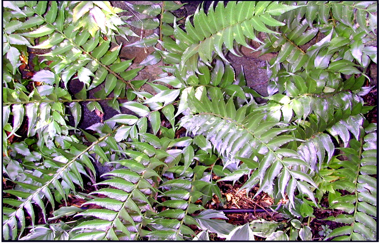 Fern Holly Details Texas Smartscape Plant Database