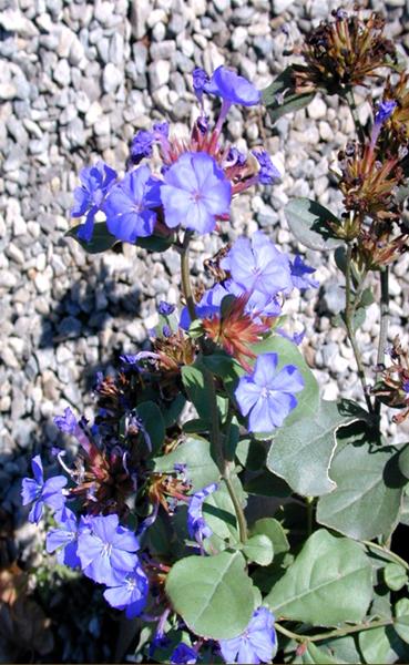Hardy Plumbago | Ceratostigma plumbaginoides | High Country Gardens