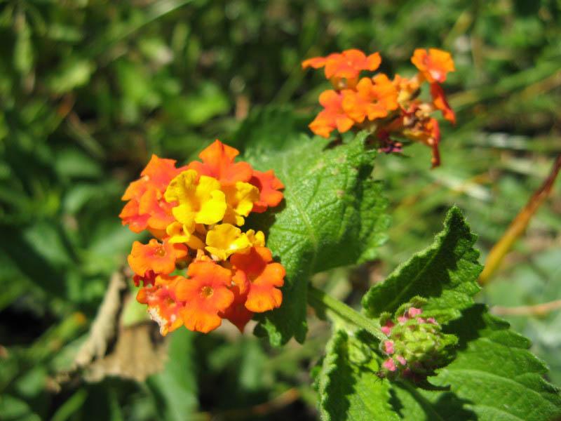 Texas Lantana Details Texas Smartscape Plant Database