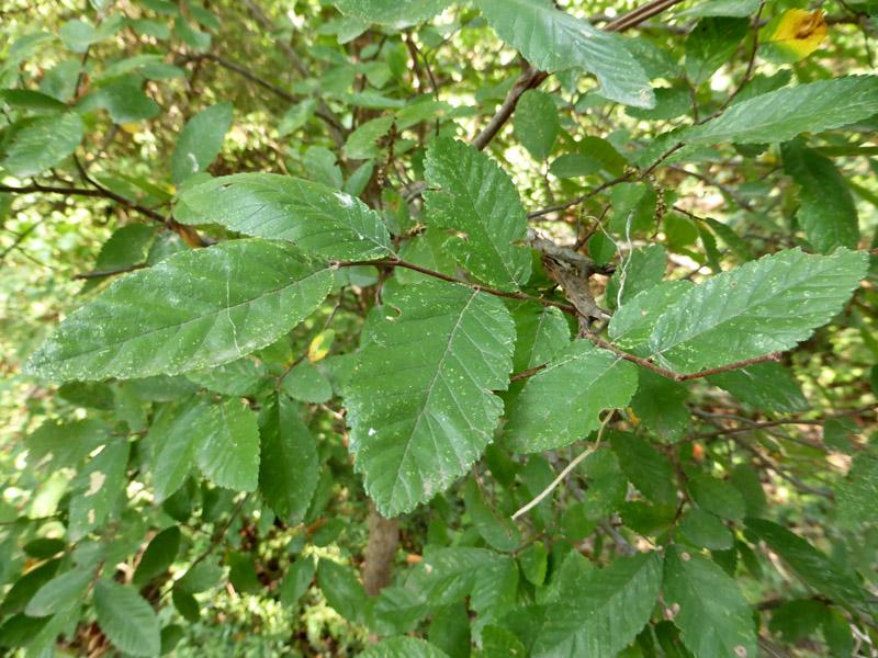 Cedar Elm Details Texas Smartscape Plant Database