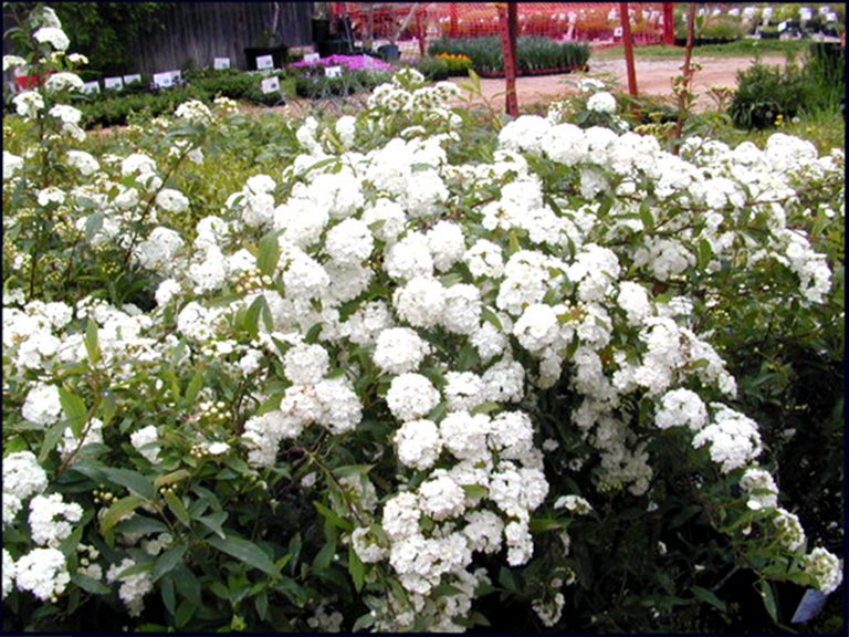 Bridal Wreath Spirea Details Texas Smartscape Plant Database