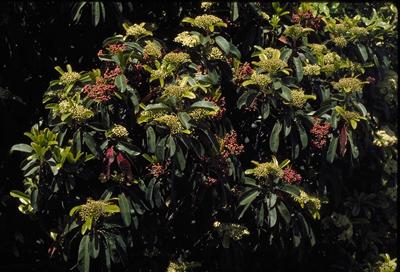 Chinese Photinia Details Texas Smartscape Plant Database