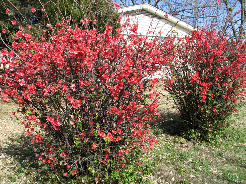 Flowering quince details texas smartscape plant database flowering quince photos photo by dotty woodson tx agric ext service mightylinksfo