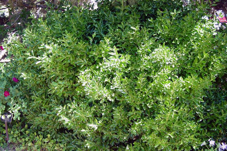 Manhattan Euonymus Details Texas Smartscape Plant Database