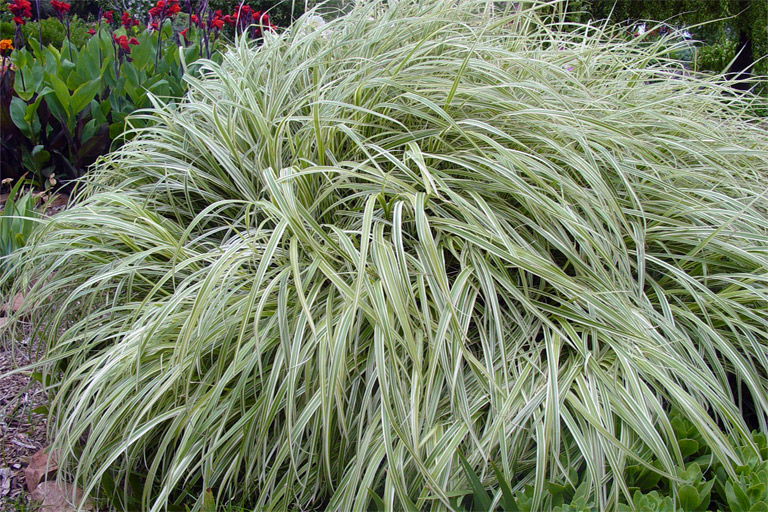 Variegated japanese silver grass details texas smartscape plant photo by texas tech horticultural garden workwithnaturefo