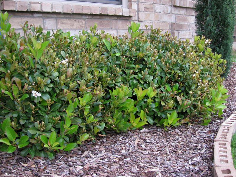 Indian Hawthorne Details Texas Smartscape Plant Database