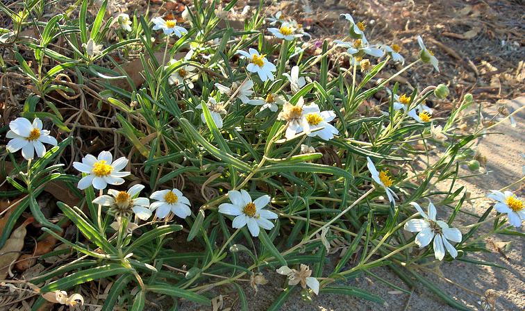 Blackfoot Daisy Details - Texas SmartScape Plant Database