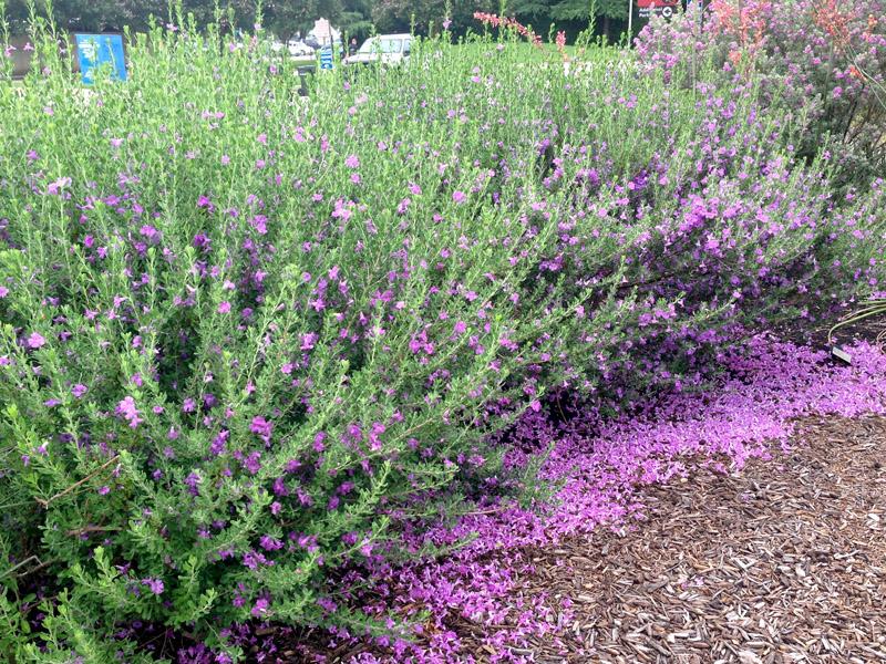 Picture of Live Green Cloud Texas Ranger aka Leucophyllum f. 'Green Cloud' Plant Fit 1 Gallon Pot