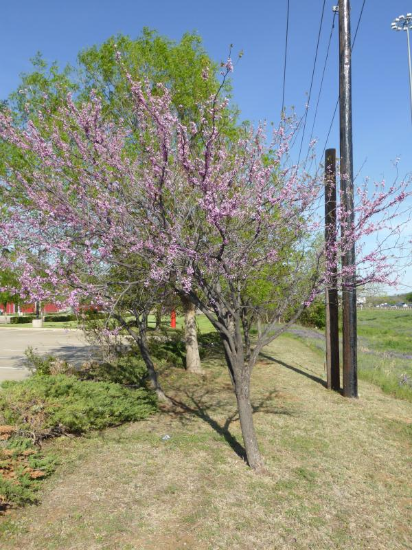Texas Redbud Details Texas Smartscape Plant Database