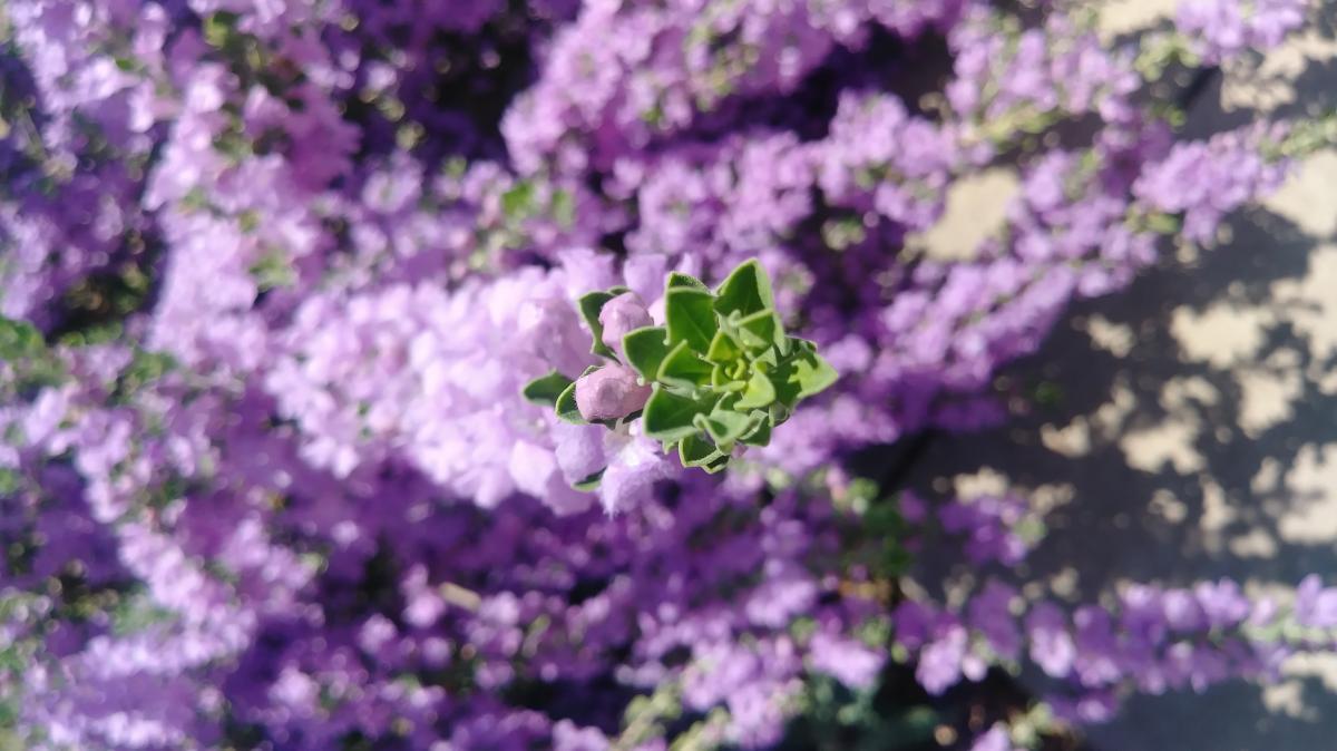 Texas Sage Heavenly Cloud Details Texas Smartscape Plant Database