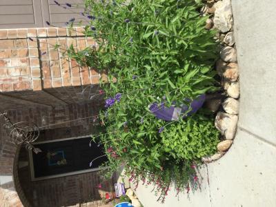 Sage, Henry Duelberg Details - Texas SmartScape Plant Database